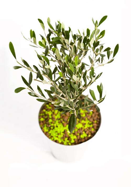 Yrityksemme tunnuspuu on oliivipuu | Gradina Oy